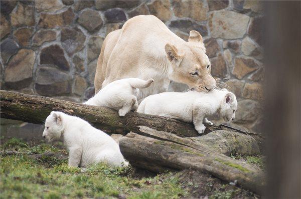 Fehér oroszlán | MTI Fotó: Balázs Attila